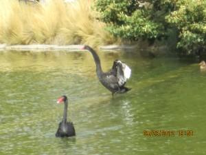 2 Black Swans